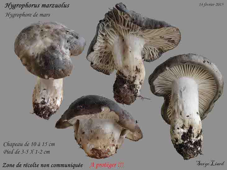 hygrophore-de-mars